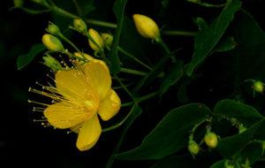 il fiore dell iperico